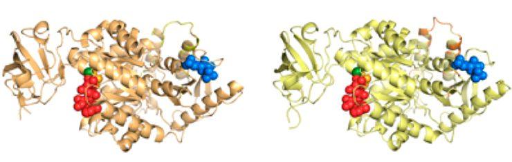 Variantes de la proteína piruvato quinasa.