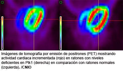 Imágenes de tomografía por emisión de positrones (PET) mostrando actividad cardiaca incrementada (rojo) en ratones con niveles deficientes en Plk1 (derecha) en comparación con ratones normales (izquierda).