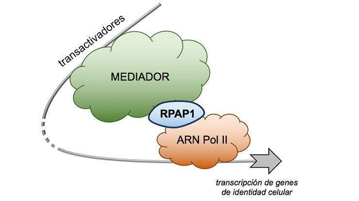 RPAP1 regula la actividad de la ARN polimerasa II a través de su interacción con los transactivadores génicos