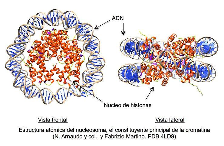 Estructura atómica del nucleosoma, el constituyente principal de la cromatina