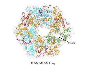 RUVBL1-RUVBL2 ring