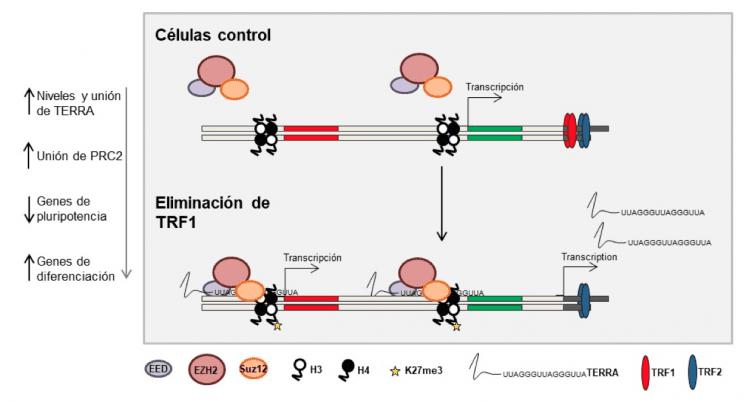 Modelo de cómo TRF1 controla la pluripotencia.