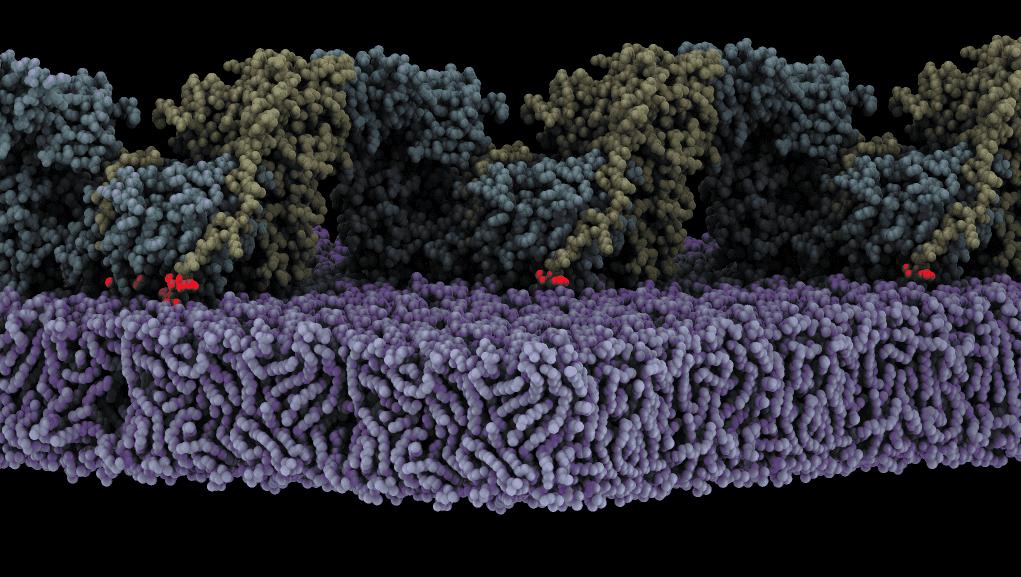 El ensamblaje de la forma oligomérica de FAK (amarillo/cian) en la membrana (morado) desencadena la autofosforilación. Se muestra un estado en el que el sitio de autofosforilación (rojo) está unido al sitio activo de la quinasa FAK. <b>/CIB-CSIC</b>