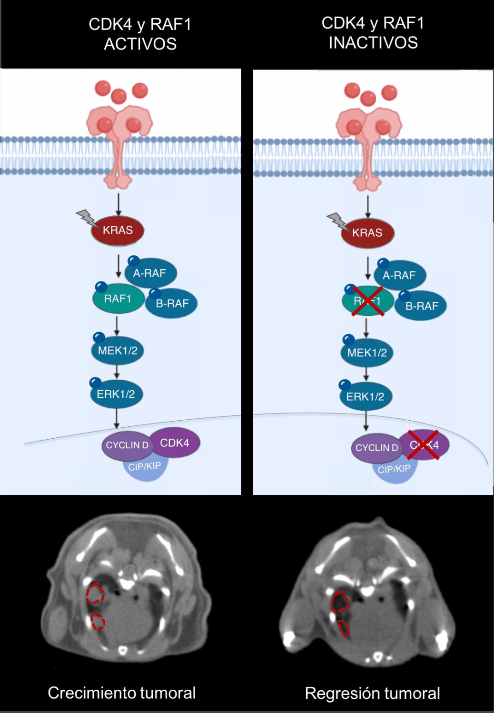 Ilustración y tomografía computarizada del efecto terapéutico antes y después de inactivar CDK4 y RAF1. A la izquierda se observan dos tumores cuando KRAS se encuentra activando CDK4 y RAF1. A la derecha se observa la desaparición de los tumores tras la inactivación de CDK4 y RAF1. <b>/CNIO</b>