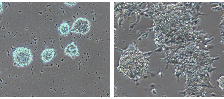 Células madre embrionarias, CNIO