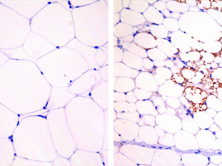 Mouse adipocytes
