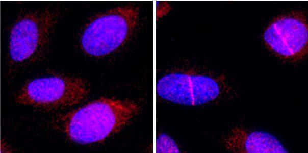 PrimPol en el ADN