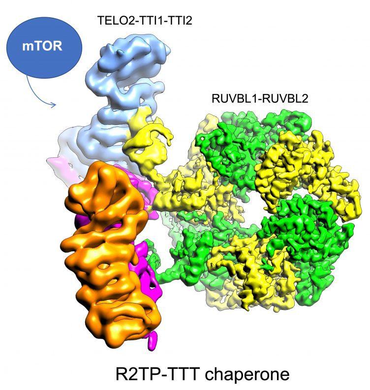 Estructura de las proteínas TELO2-TTI1-TTI2 descifrada en el artículo, unida al resto de proteínas que forman parte del complejo encargado de ensamblar mTOR. /CNIO